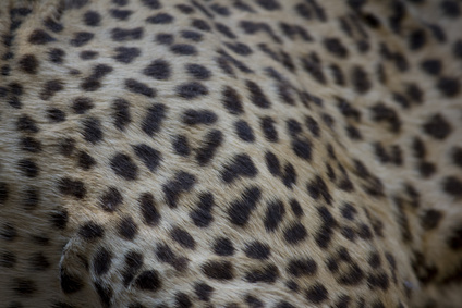 leopard print close up texture